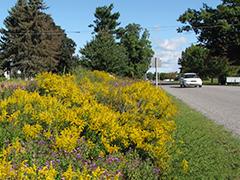 Managing Roadsides for Pollinators