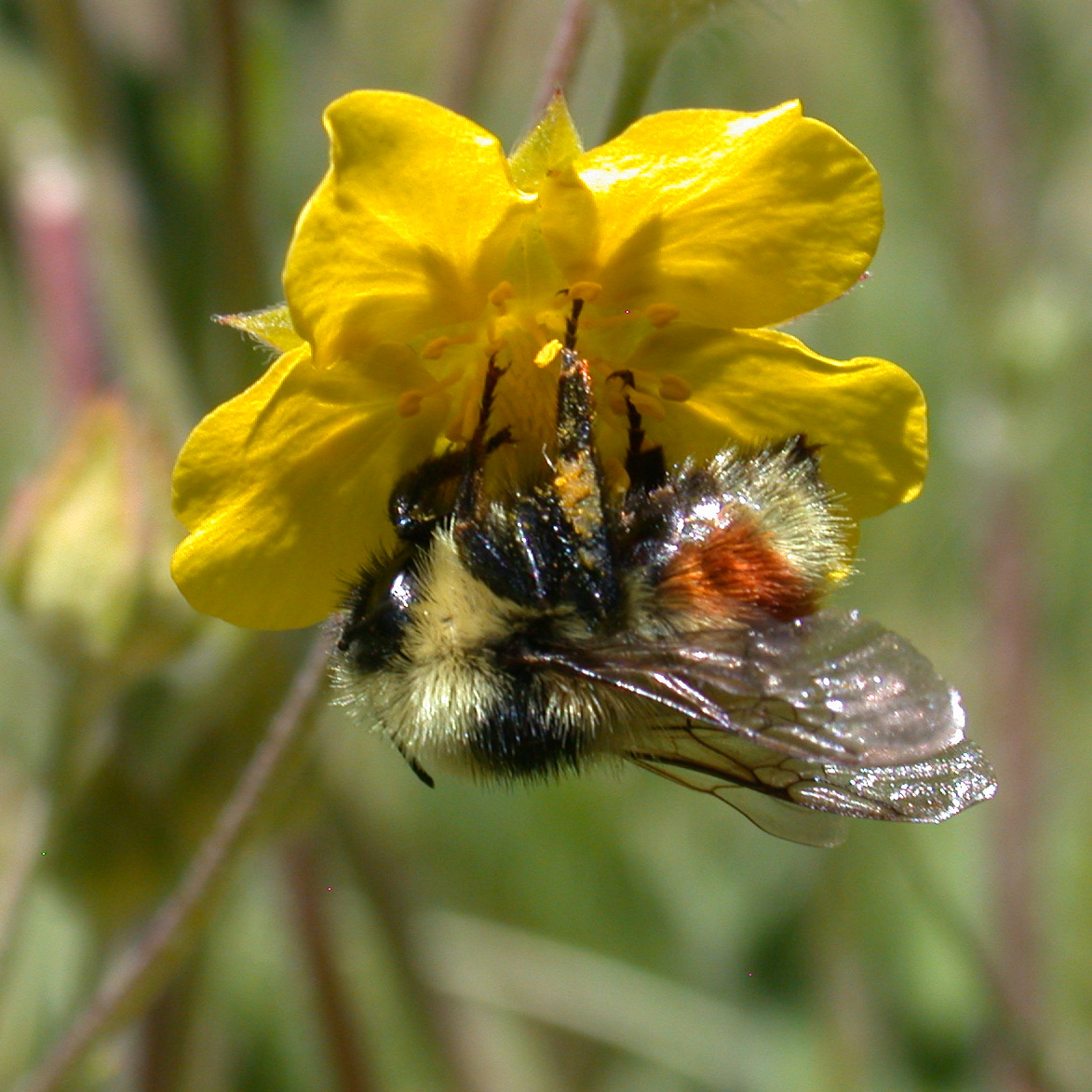 A bumble bee with fuzzy, somewhat distinct body segments, clings to a yellow flower.