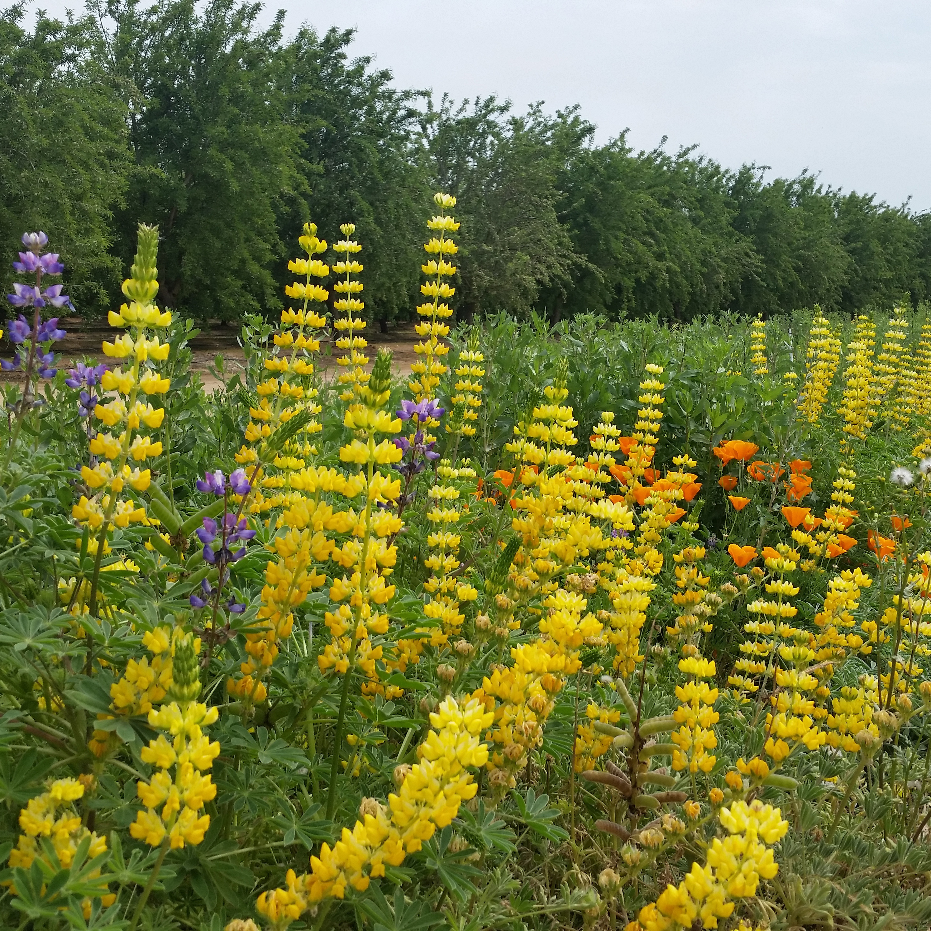 A hedgerow bordering an orchard's tidy rows is bursting with color, especially yellow.