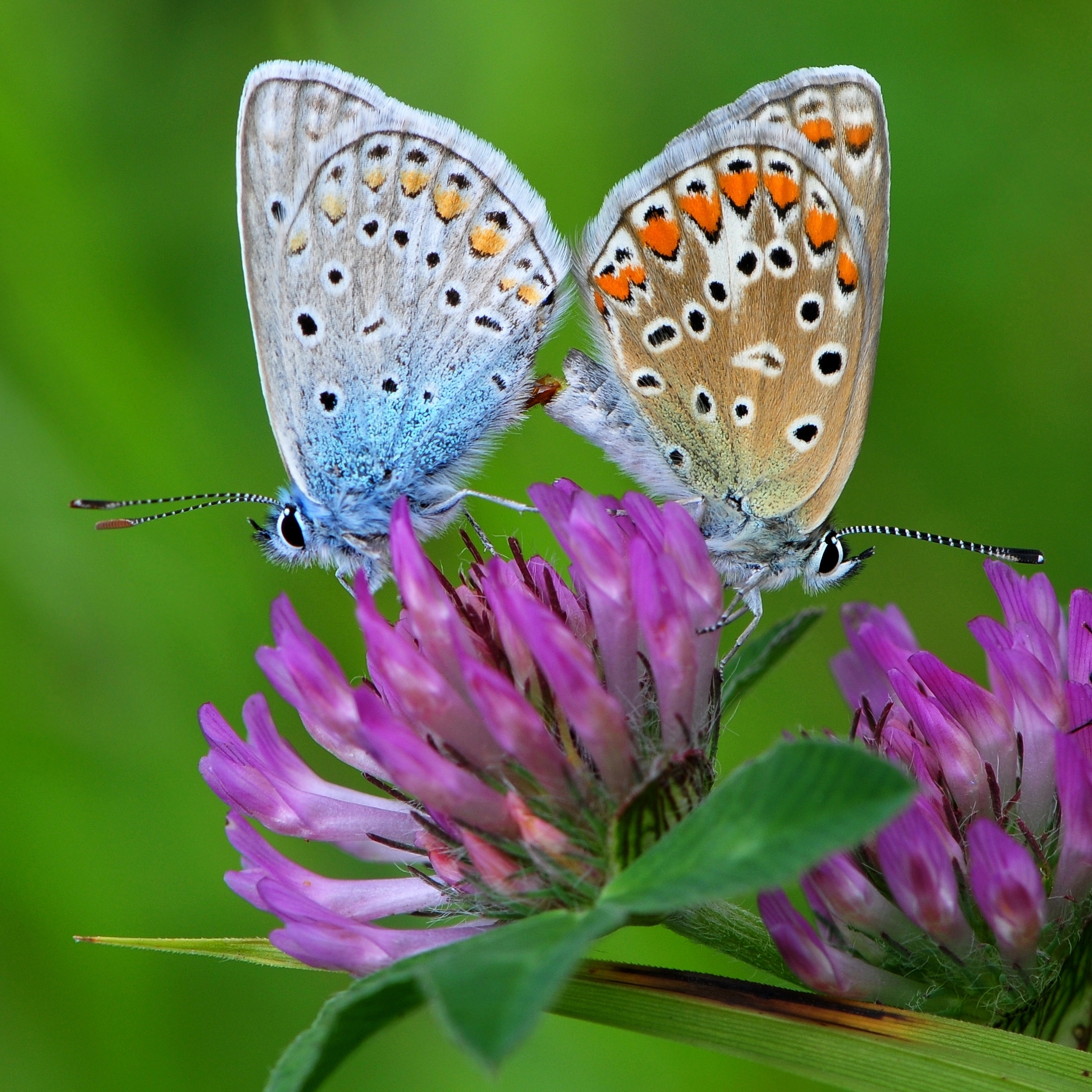 Two butterflies are joined end-to-end as they mate atop a purple clover flower.