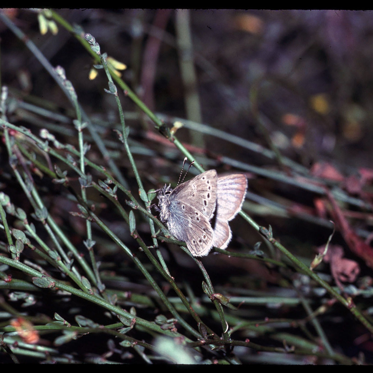 A stiff, preserved butterfly was placed on deerweed in this old, slightly distorted photo.