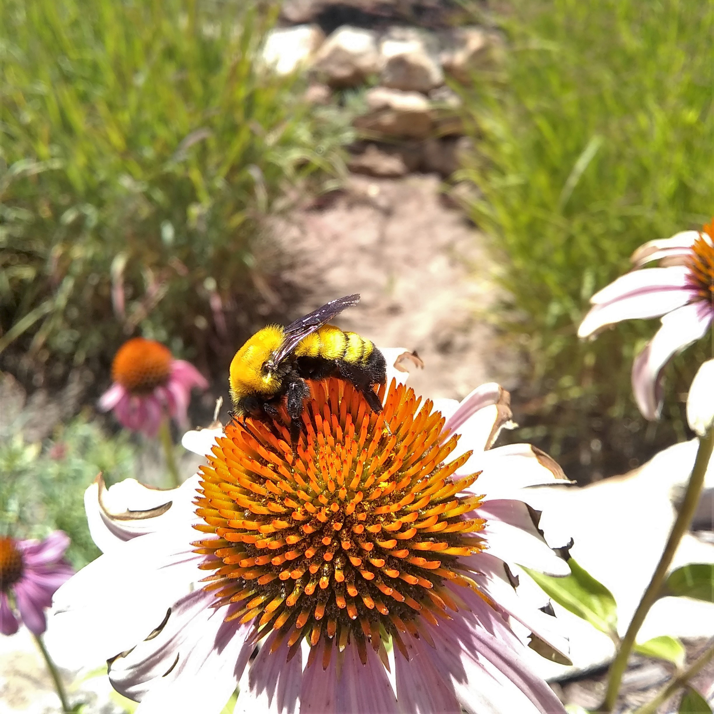 A large hairy yellow-and-black bumble bee drinks nectar from a purple coneflower.