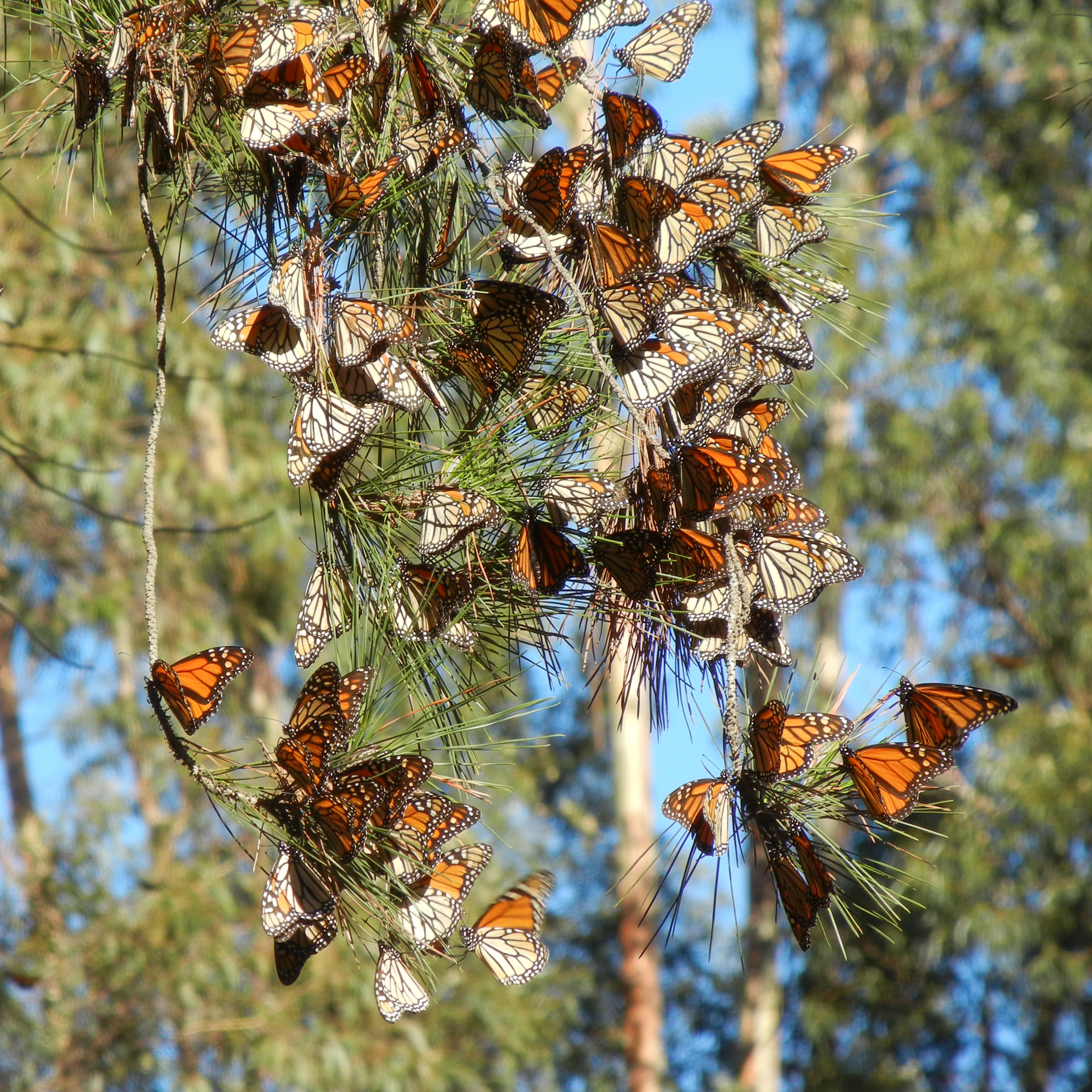 Monarchs cluster on a pine branch. The butterflies that have their wings closed are more drab in color, resembling dead leaves. The butterflies that have their wings open are bright orange and stand out against the scene's browns, greens, and blues.