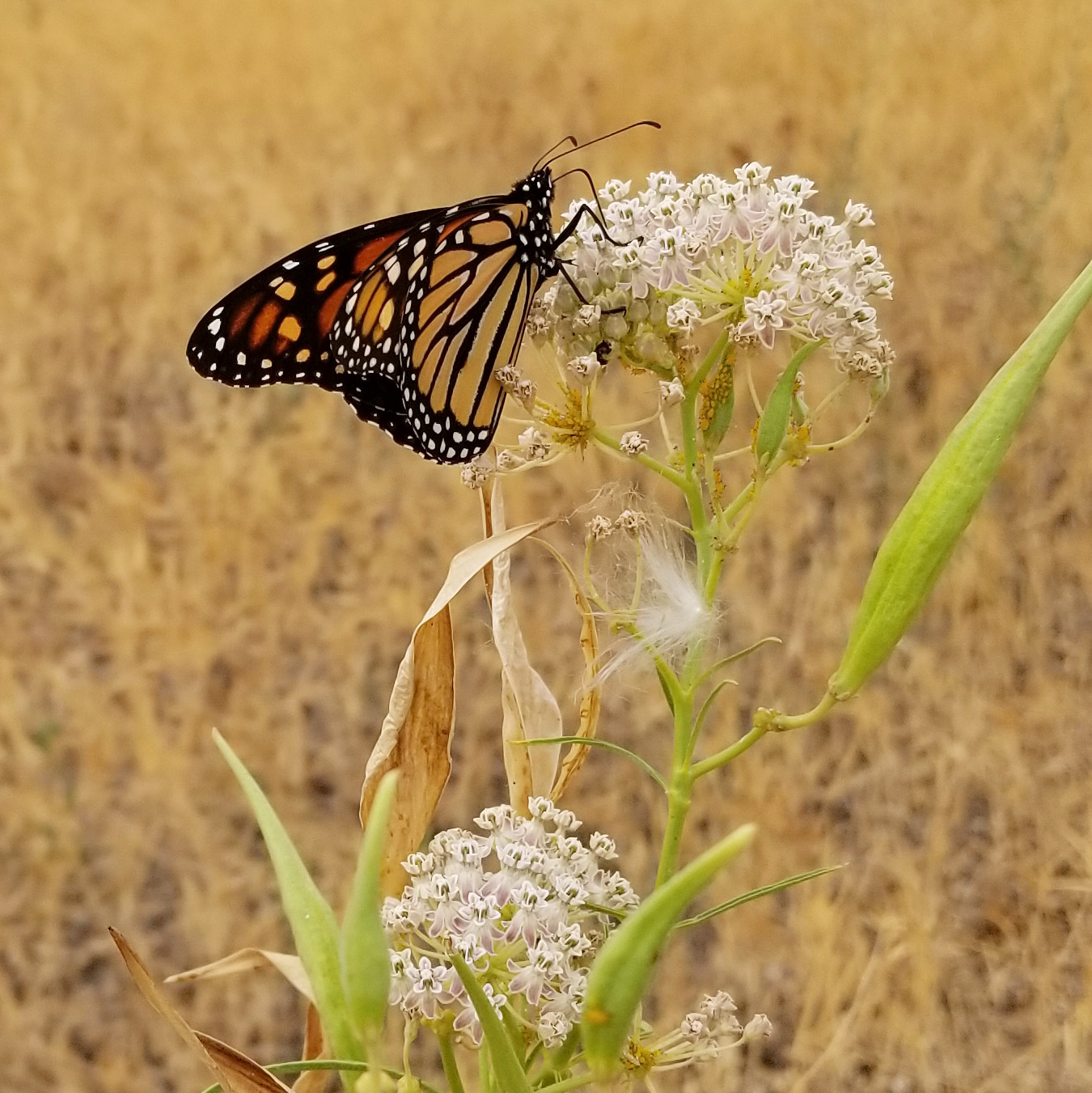 A monarch nectars on off-white milkweed blossoms in a dry field. There is a tuft of milkweed seed on the plant.