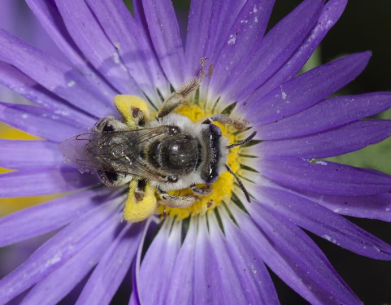 A fuzzy, gray and black bee collects pollen from a purple flower.