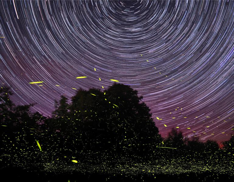 A purple and maroon night sky is lit by curving, white star trails, and the darkened area of the frame with silhouettes of trees is illuminated by the yellow streaks of fireflies in this long-exposure shot.