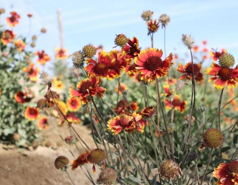 Red coreopsis flowers stand out against a blue sky.