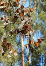 Cluster of western monarchs overwintering in California