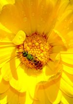 Green sweat bee feeding on a yellow flower