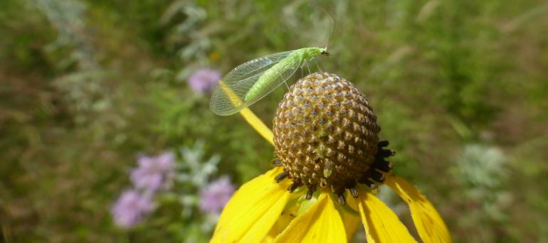 A bright green insect with translucent wings perches atop a yellow, daisy-like flower with a spherical center.