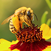 A bee with a lot of pollen in its baskets is perched atop a red and yellow flower.