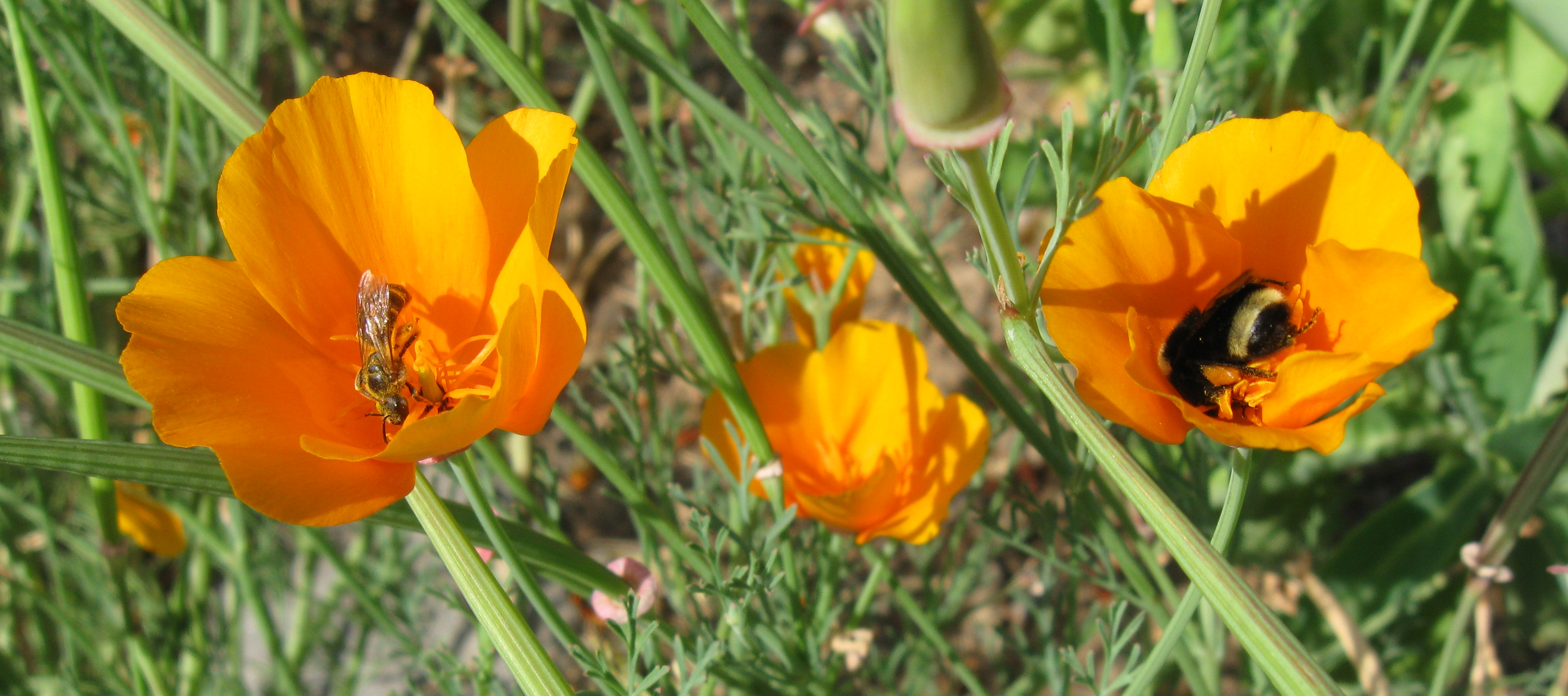 Three bright yellow-orange poppies are shown in a grassy area. The two poppies that are wide open and facing the camera each have a bee in the middle. On the left is a green, shiny bee. On the right is a large, primarily black, fuzzy bee.