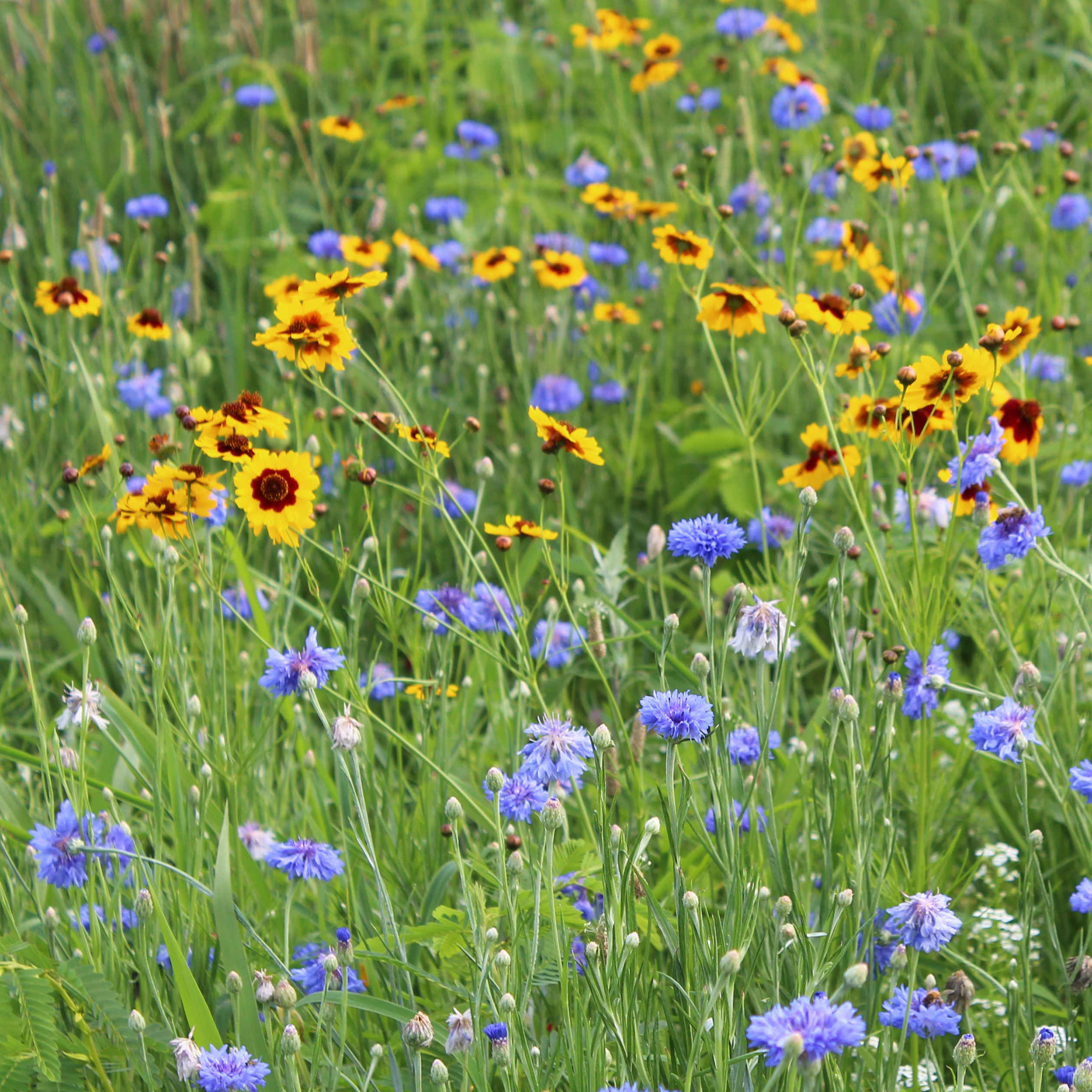 A meadow is filled with colorful blossoms, primarily bluish-purple and yellow flowers.