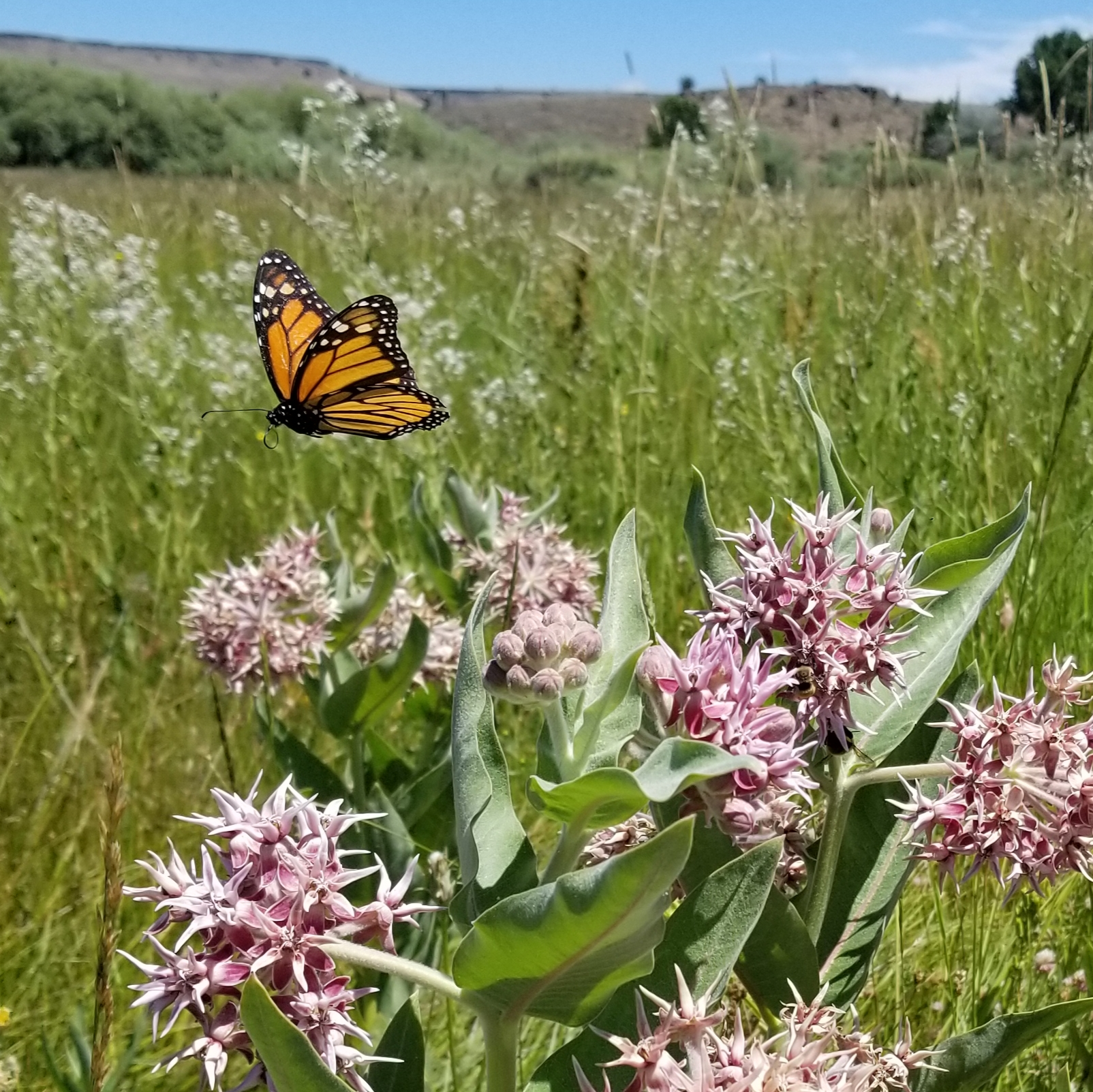 A bright orange monarch flutters over pink milkweed blossoms on a sunny day, in a landscape filled with green grass.
