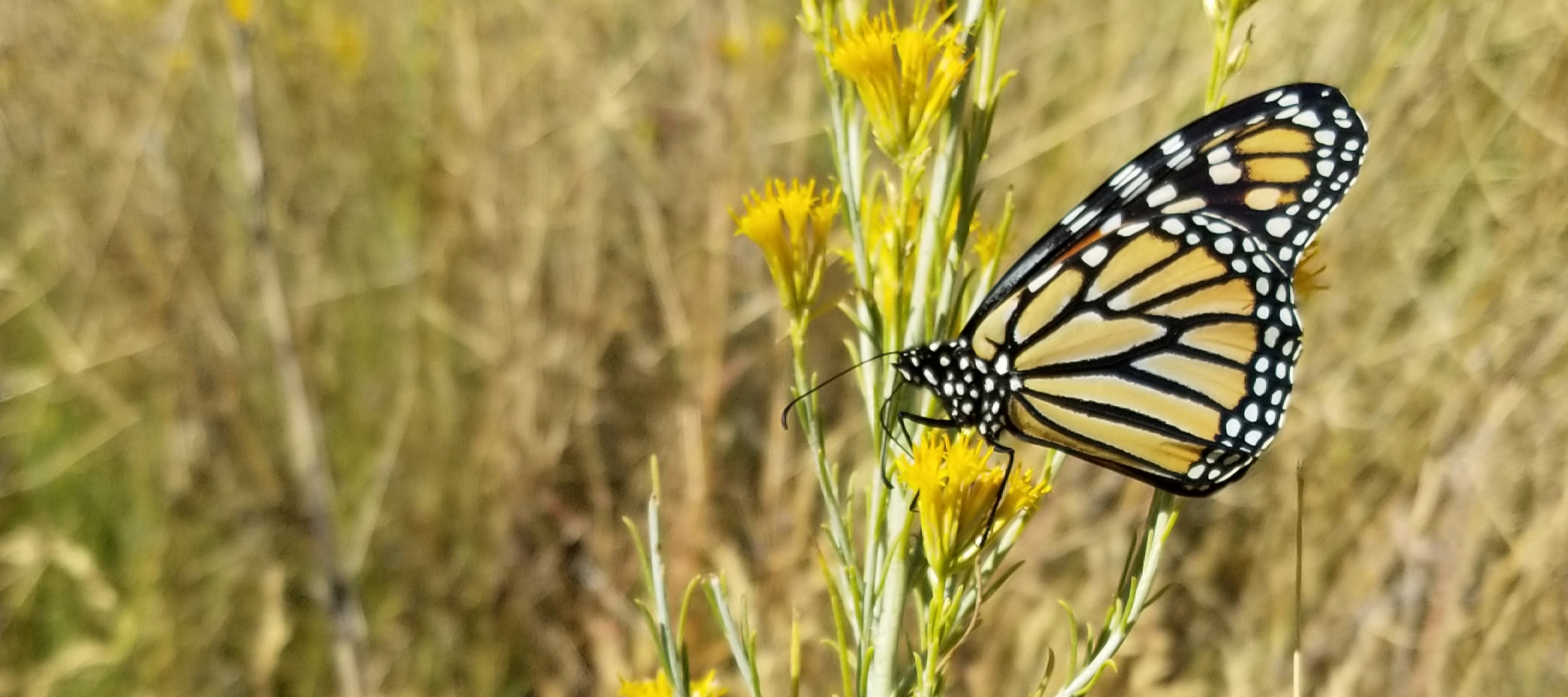 A monarch perches on a stalk of yellow flowers in a dry, grassy area.