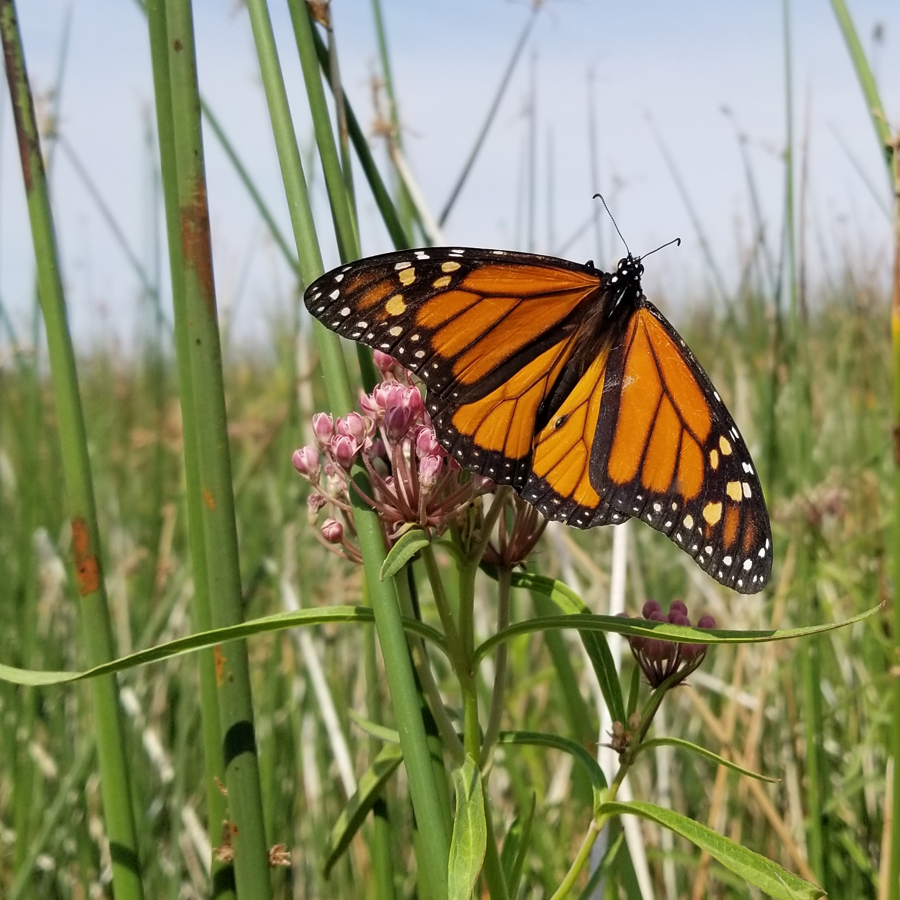 A bright orange monarch perches atop a small cluster of pink milkweed flowers.