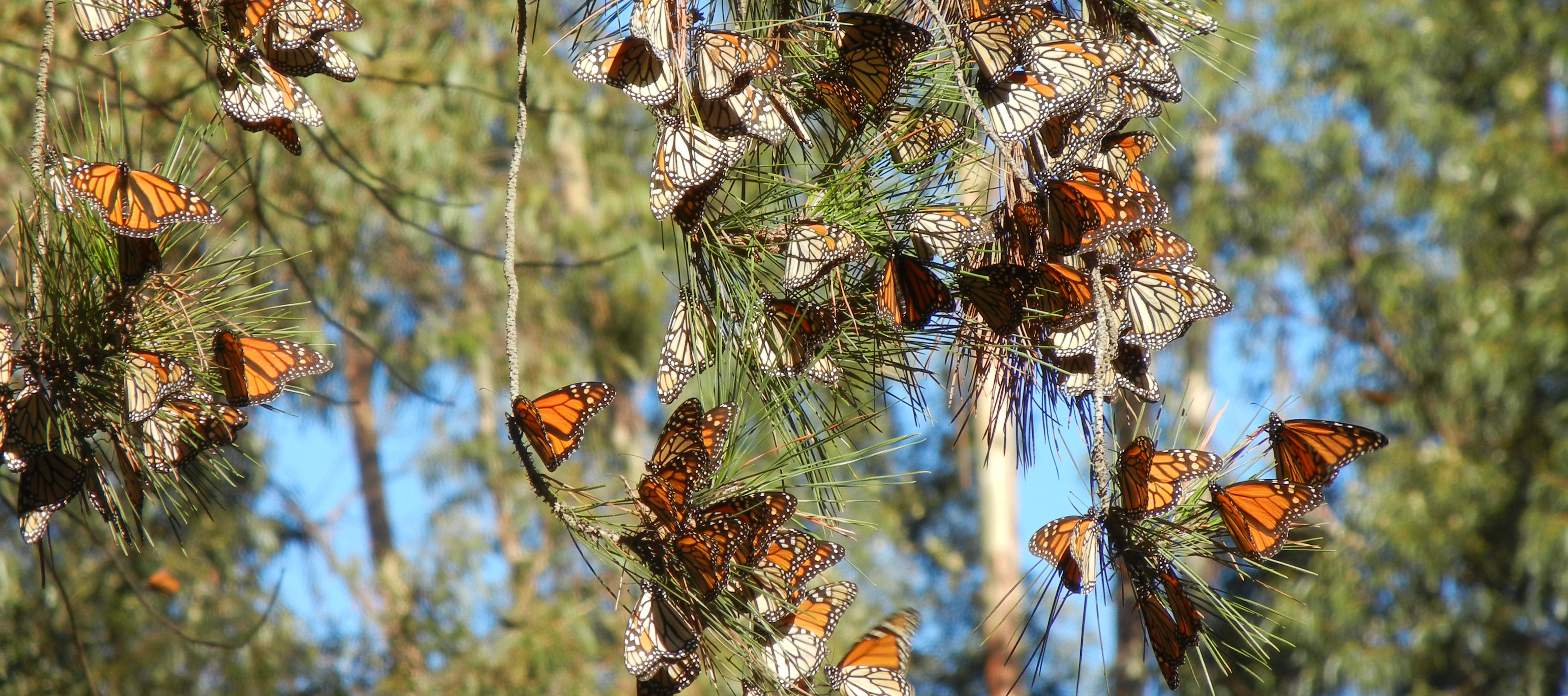 Monarchs cluster on a pine branch. Those with their wings closed look more drab, similar to dead leaves. Those with their wings open are bright orange.