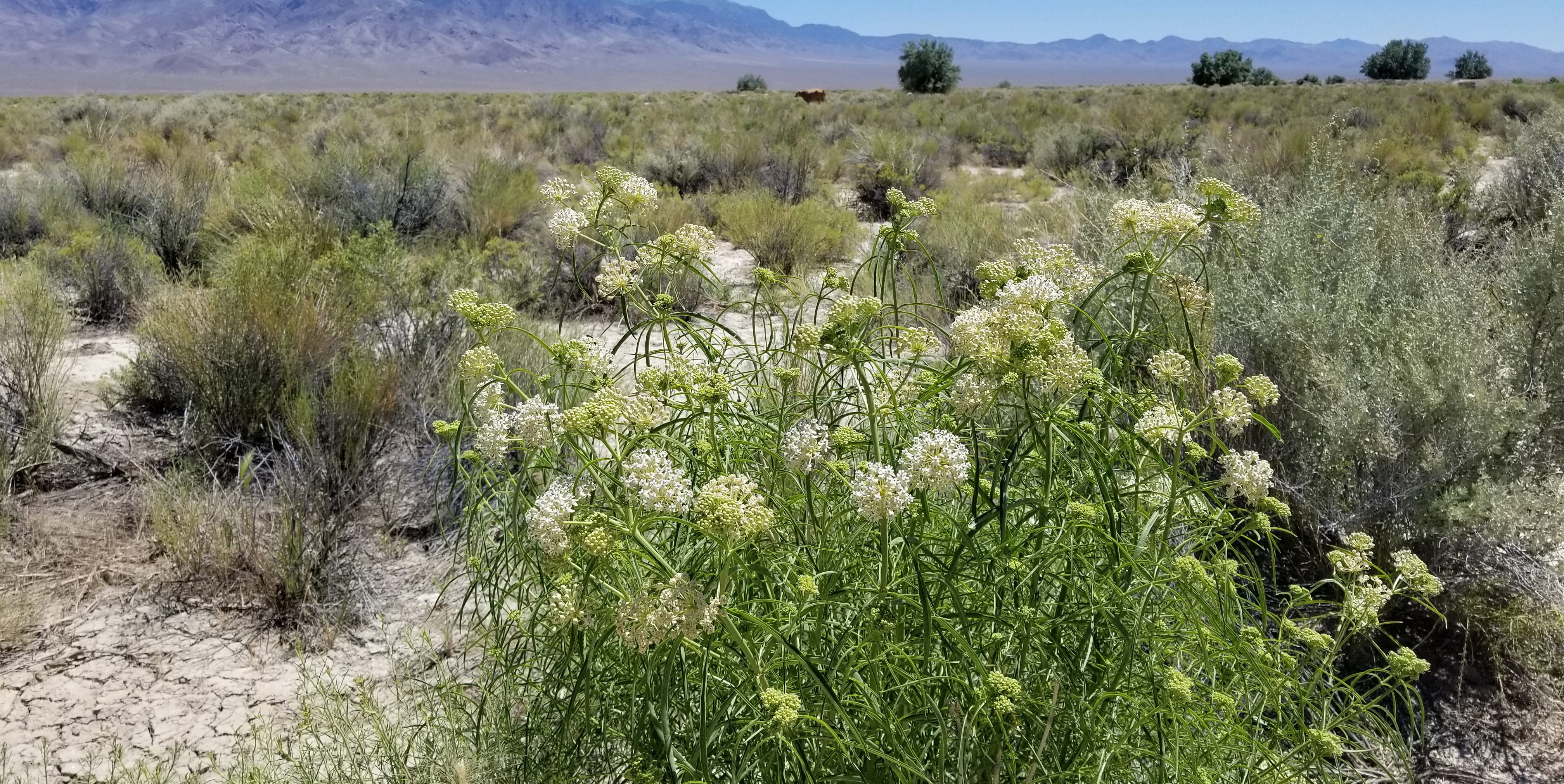 White milkweed flowers blossom in the foreground of an arid rangeland scene, dotted with shrubs. In the distance is cattle, and farther yet, some bluish mountains.