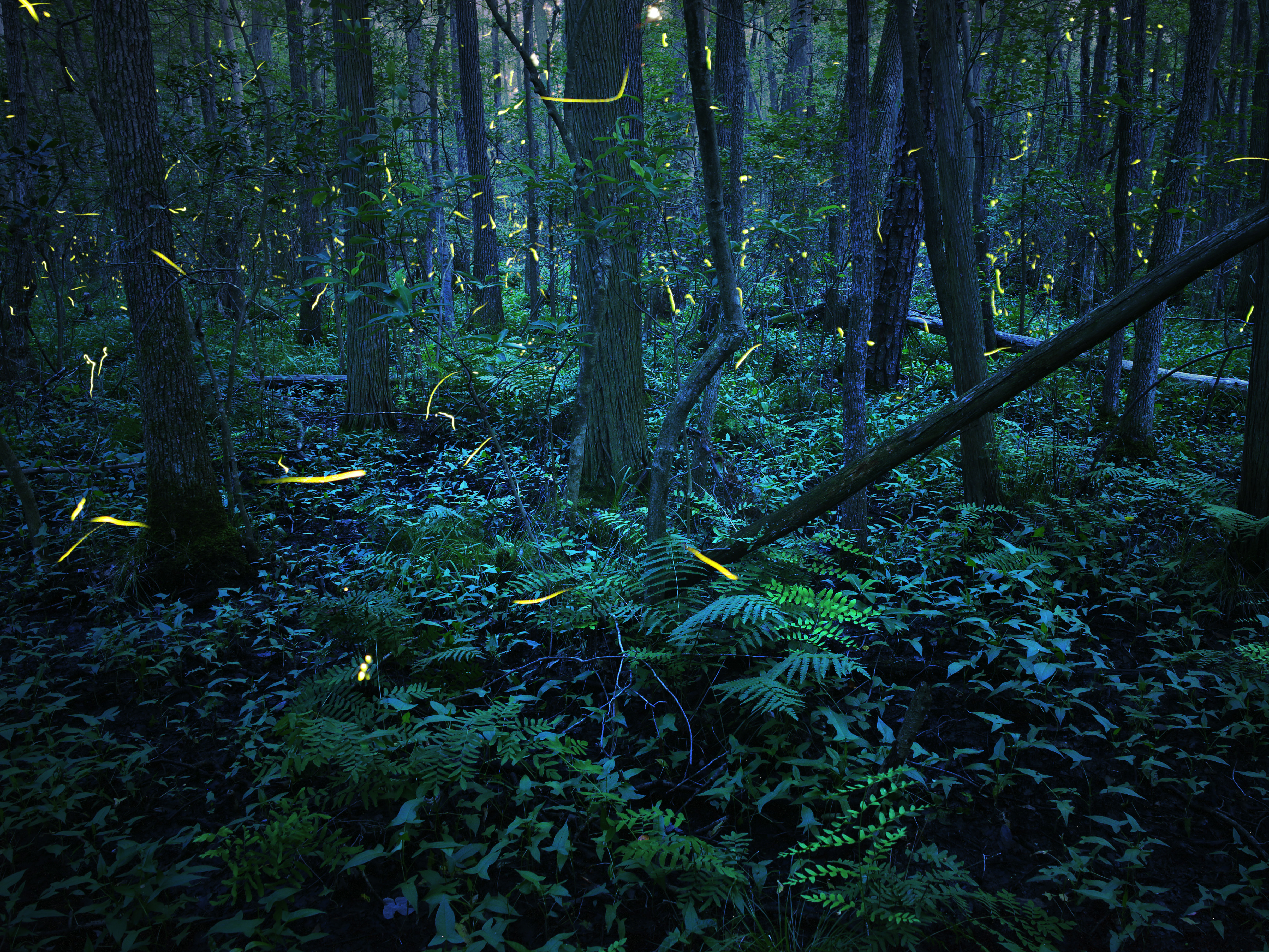 A dark forest filled with ferns, downed trees, rocks, and lush underbrush, is filled with bright dashes of yellow in this long-exposure shot of fireflies at night.