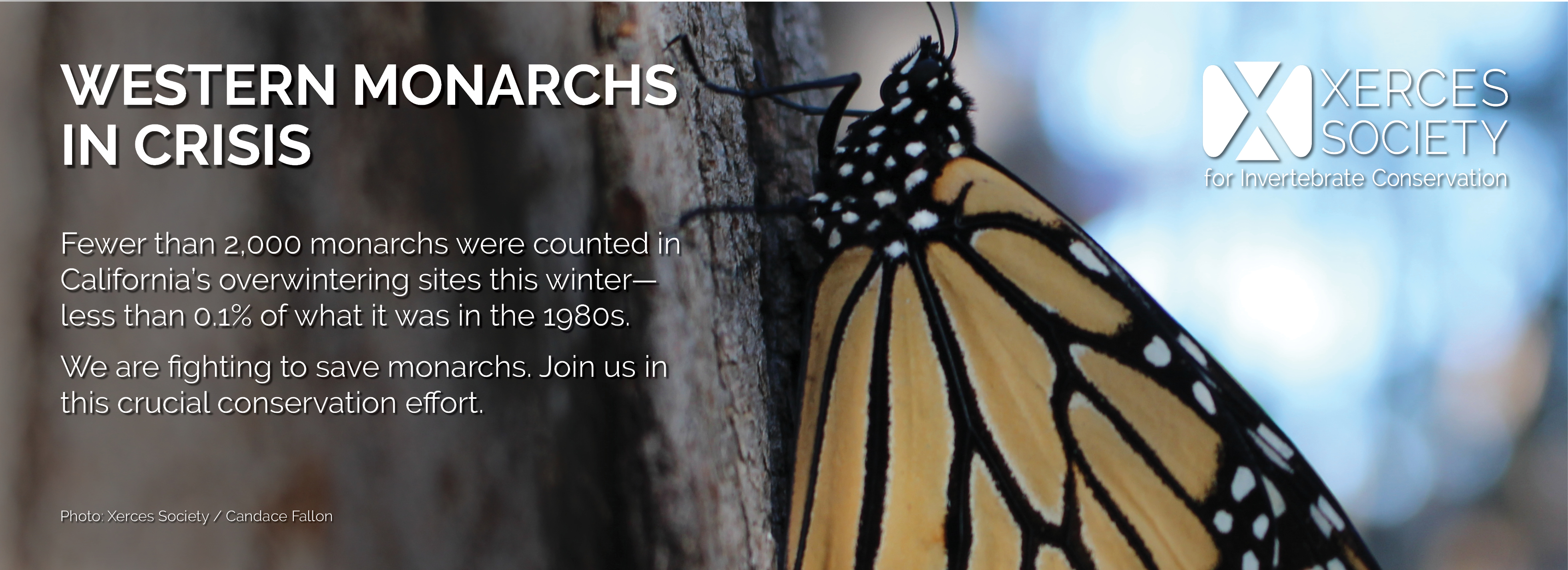 This banner, featuring a monarch clutching a tree trunk in a dimly-lit scene, says: Western Monarchs in Crisis: The western monarch population is now less than 0.01% of what it was in the 1980s. We are fighting to save them. Join us in this crucial conservation effort.