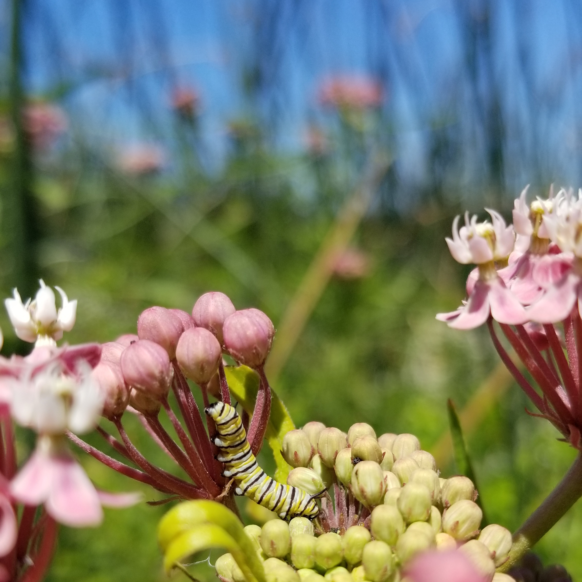 A tiny yellow, white, and black striped monarch caterpillar on the pink flowers of swamp milkweed.