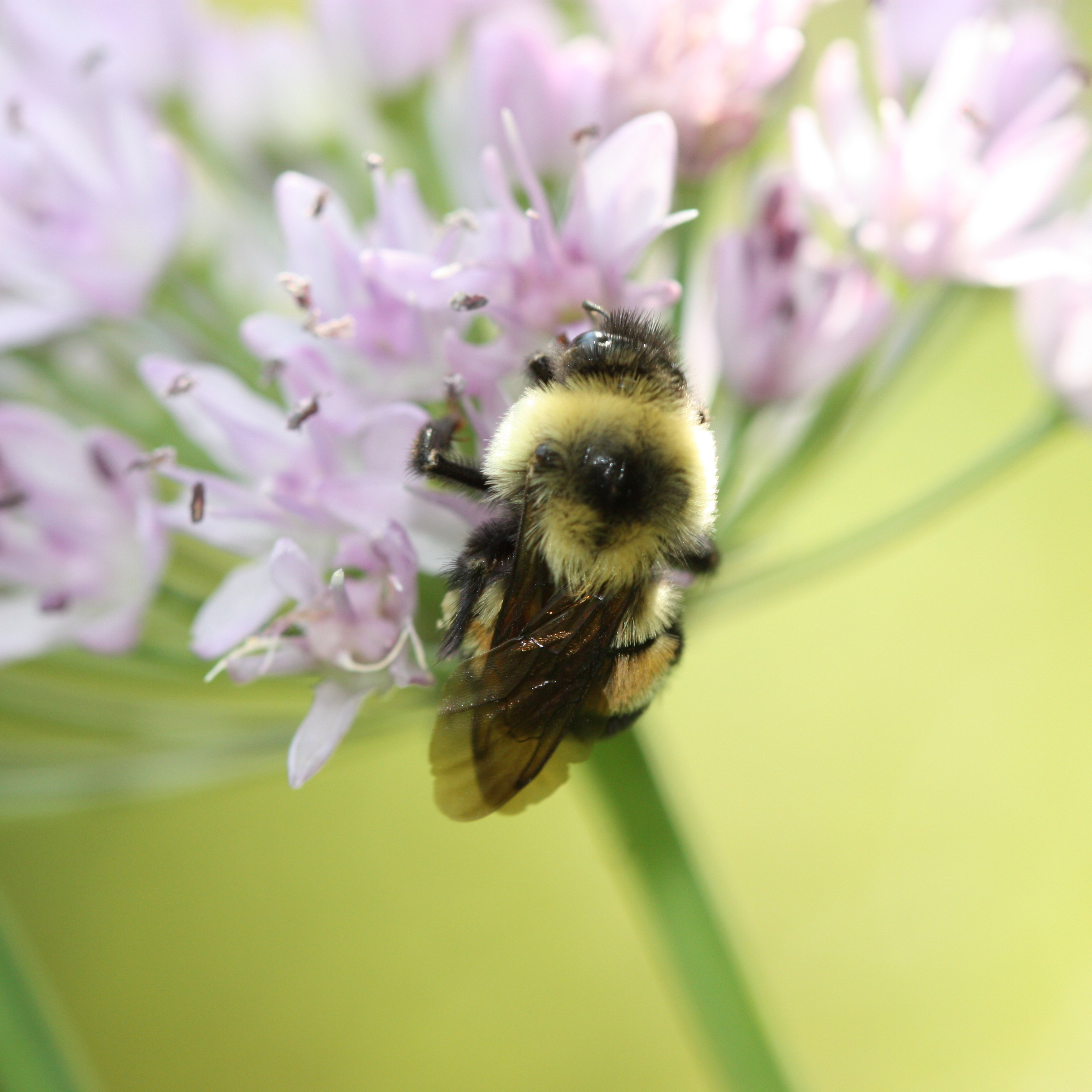 A fuzzy, black and yellow bumble bee with a reddish-brown patch on its back clings to a cluster of pale purple flowers.
