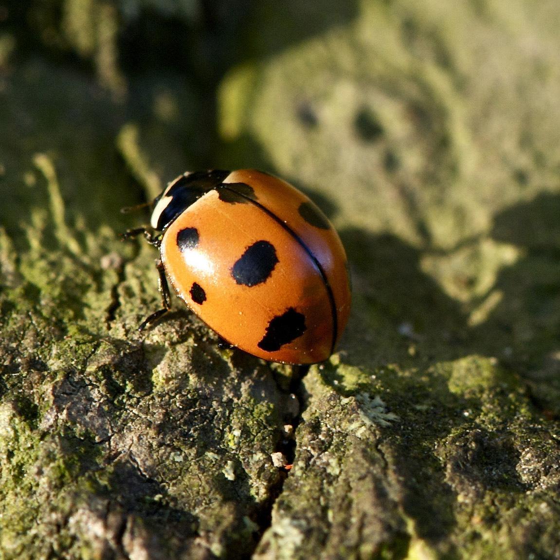 A bright orange-red lady beetle (ladybug) sits on a mossy log.