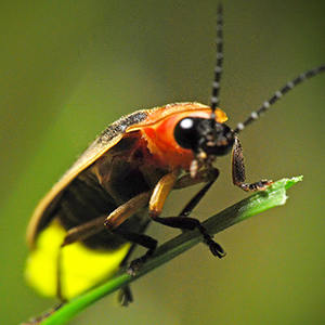 A beetle with red shoulders, a primarily brown body, and a glowing yellow rear perches on a leaf.