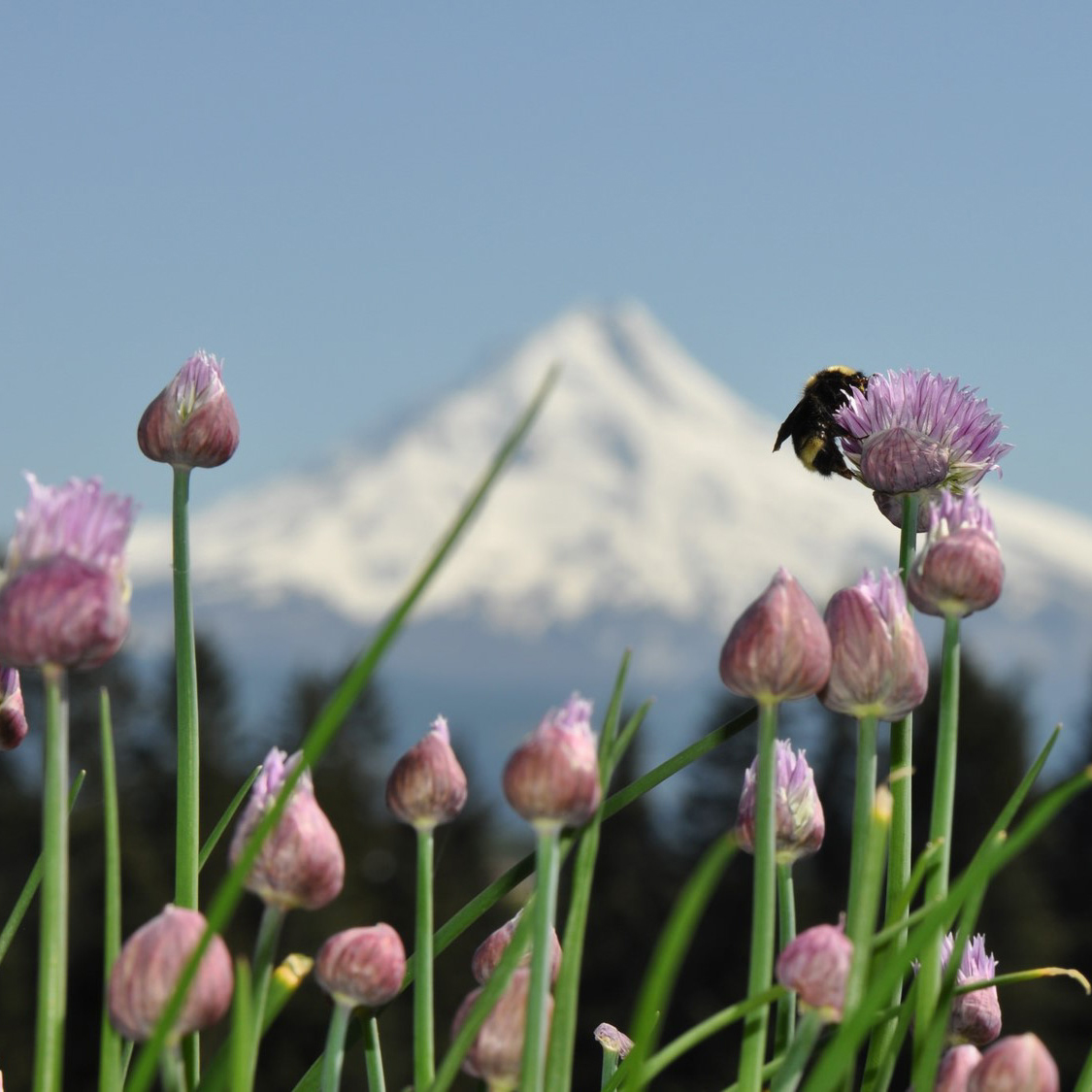 A bumble bee collects pollen from a pink, round bloom in the foreground; the snow-covered peak of Oregon's Mt. Hood looms in the background.