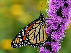 Monarch Nectar Plant Guides