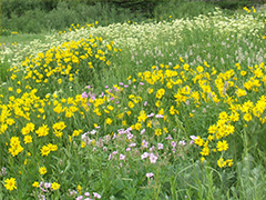 Pollinator Seed Mixes and Suppliers