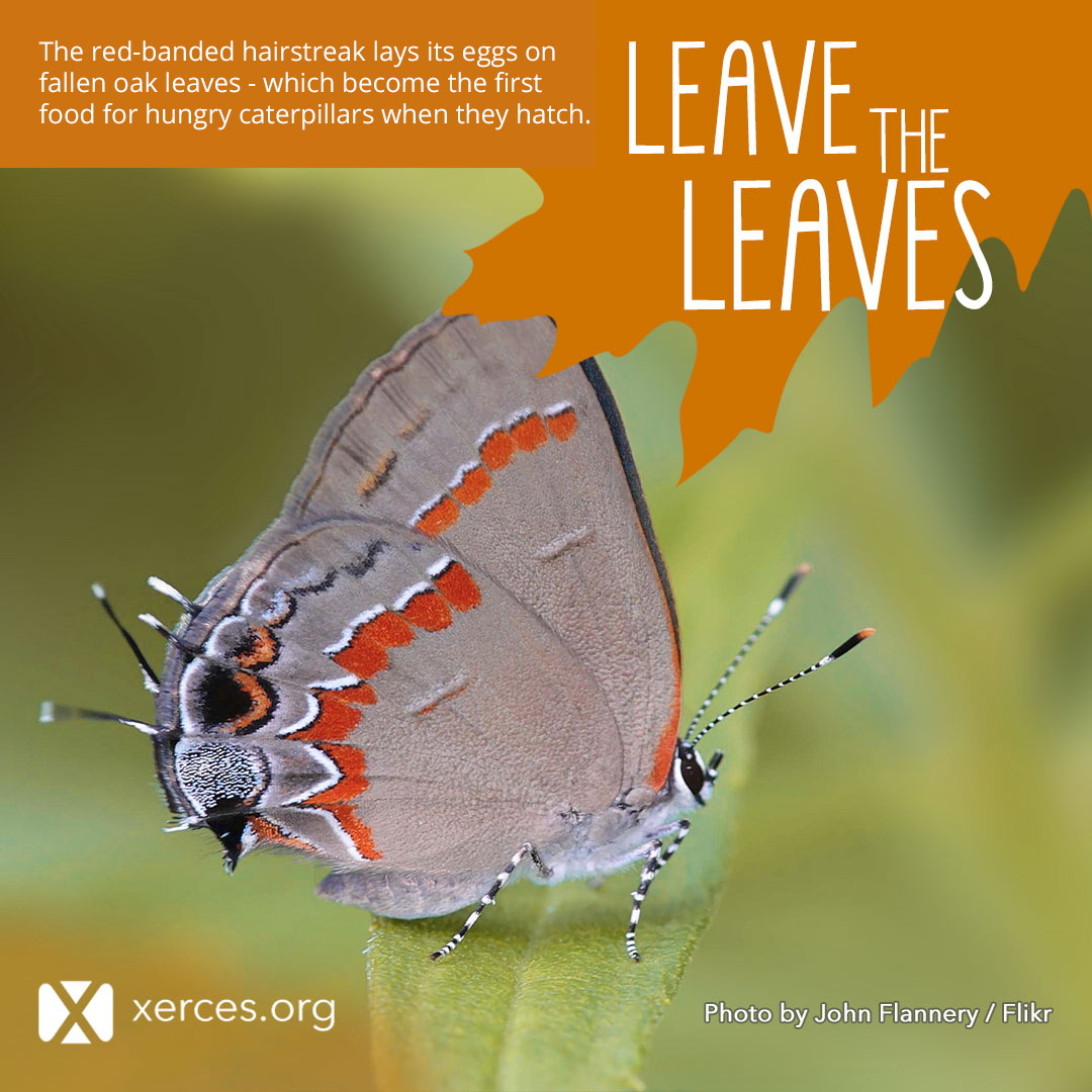 A gray butterfly with bright red details is shown in this Leave the Leaves! graphic.