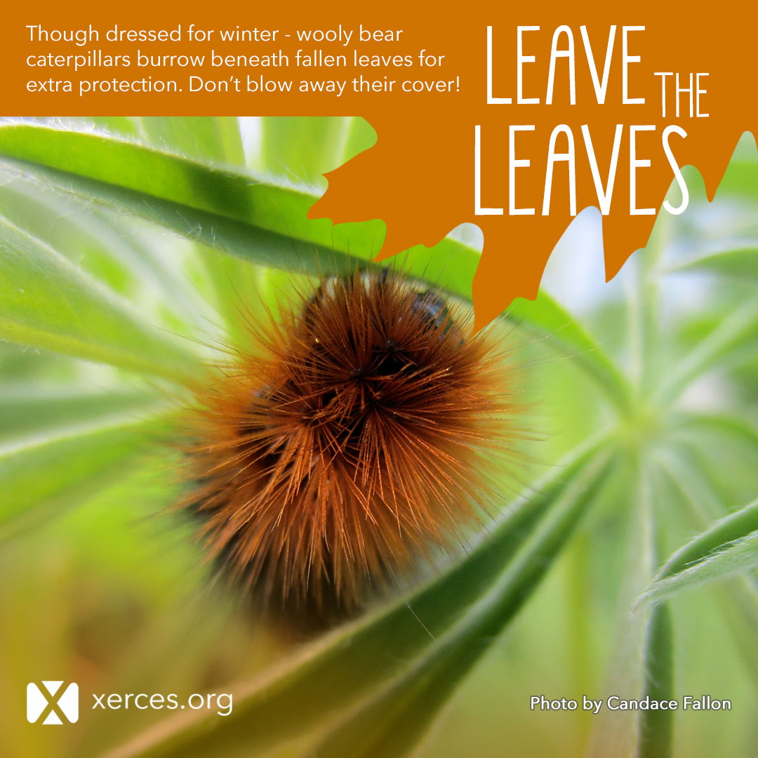 A fuzzy, orange and black wooly bear caterpillar is shown in this Leave the Leaves! graphic.