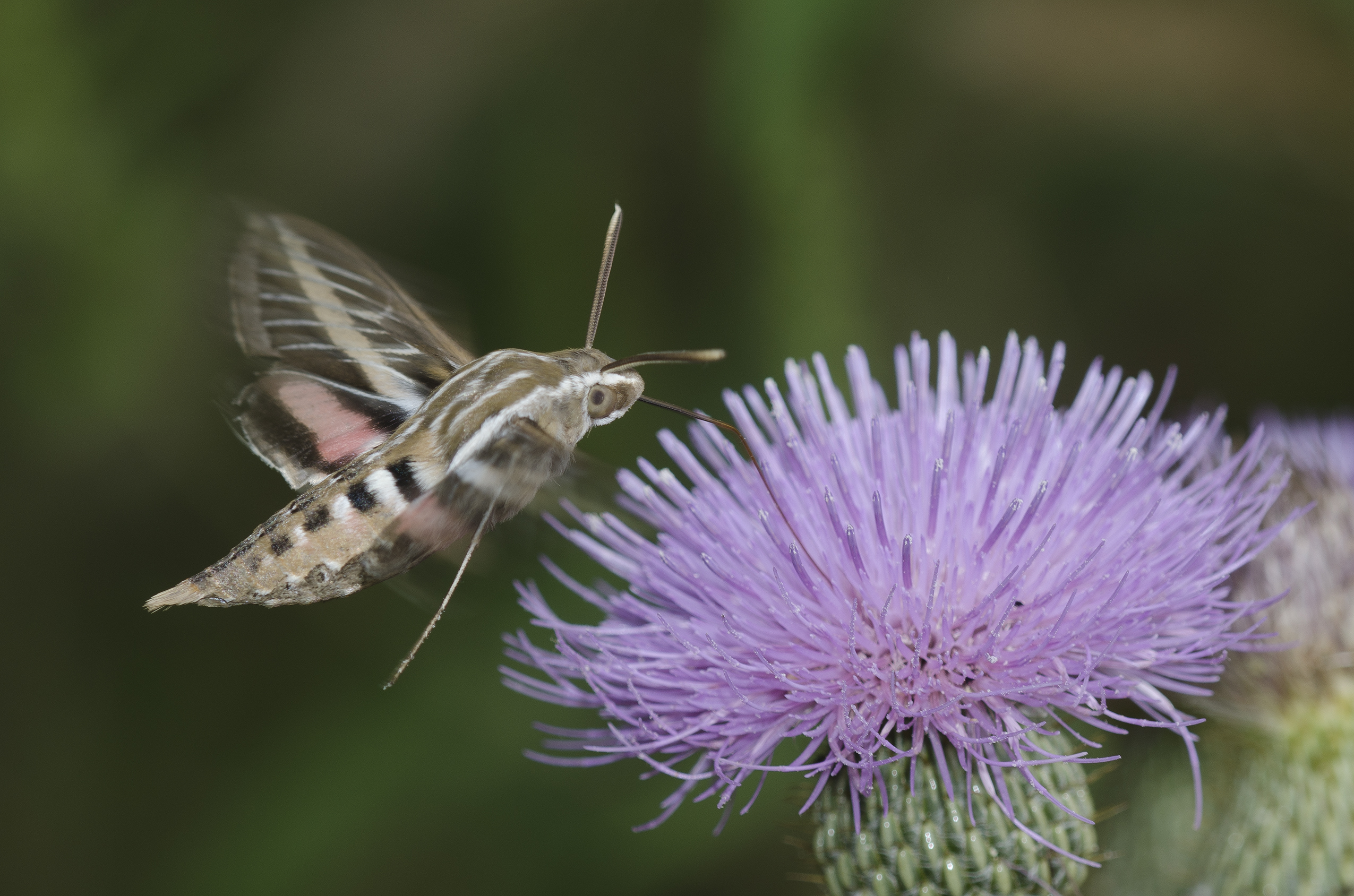 This white-lined sphinx moth hovering to drink nectar from a native thistle.