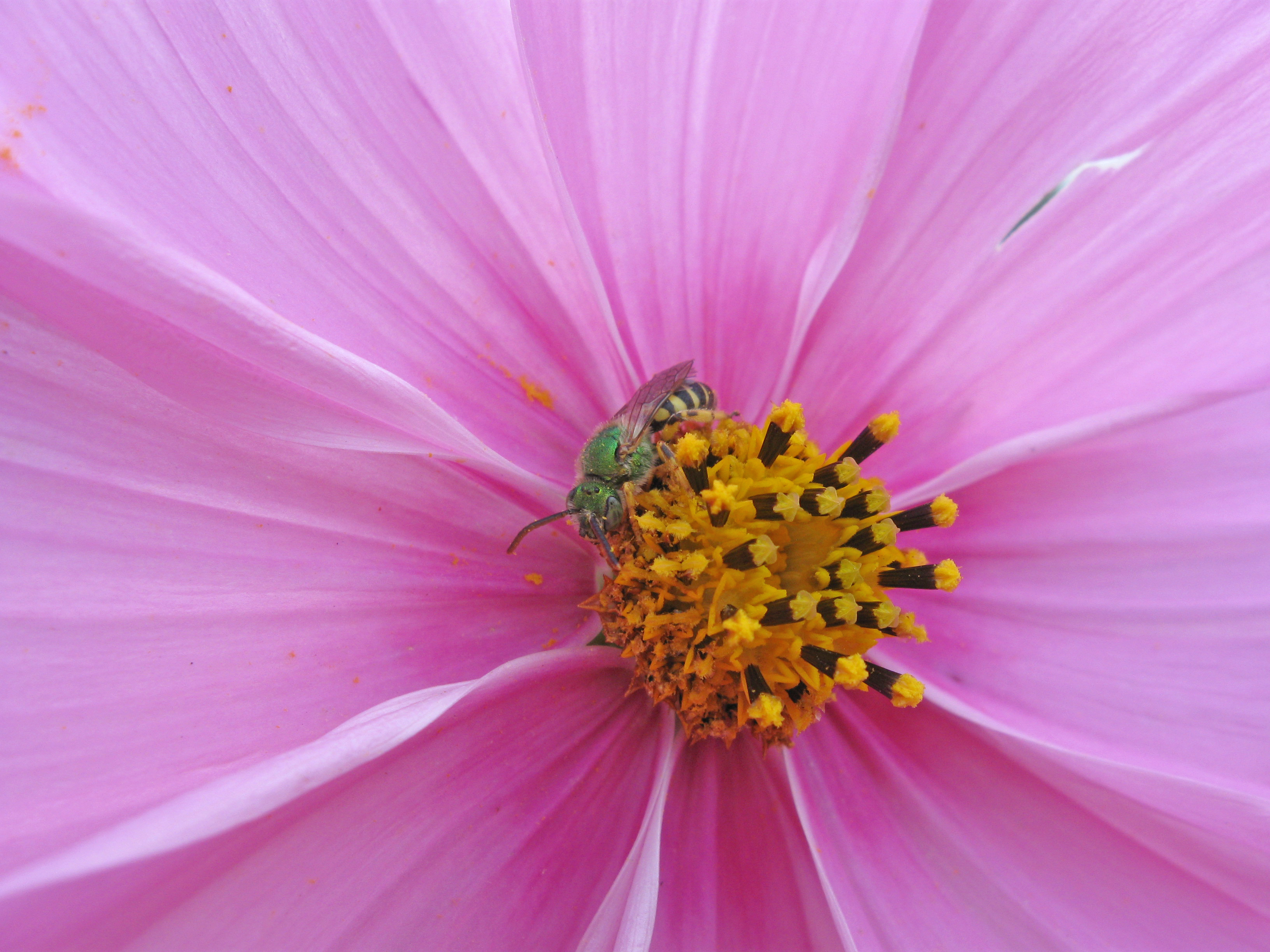 Metallic green sweat bee rests in a cosmos flower