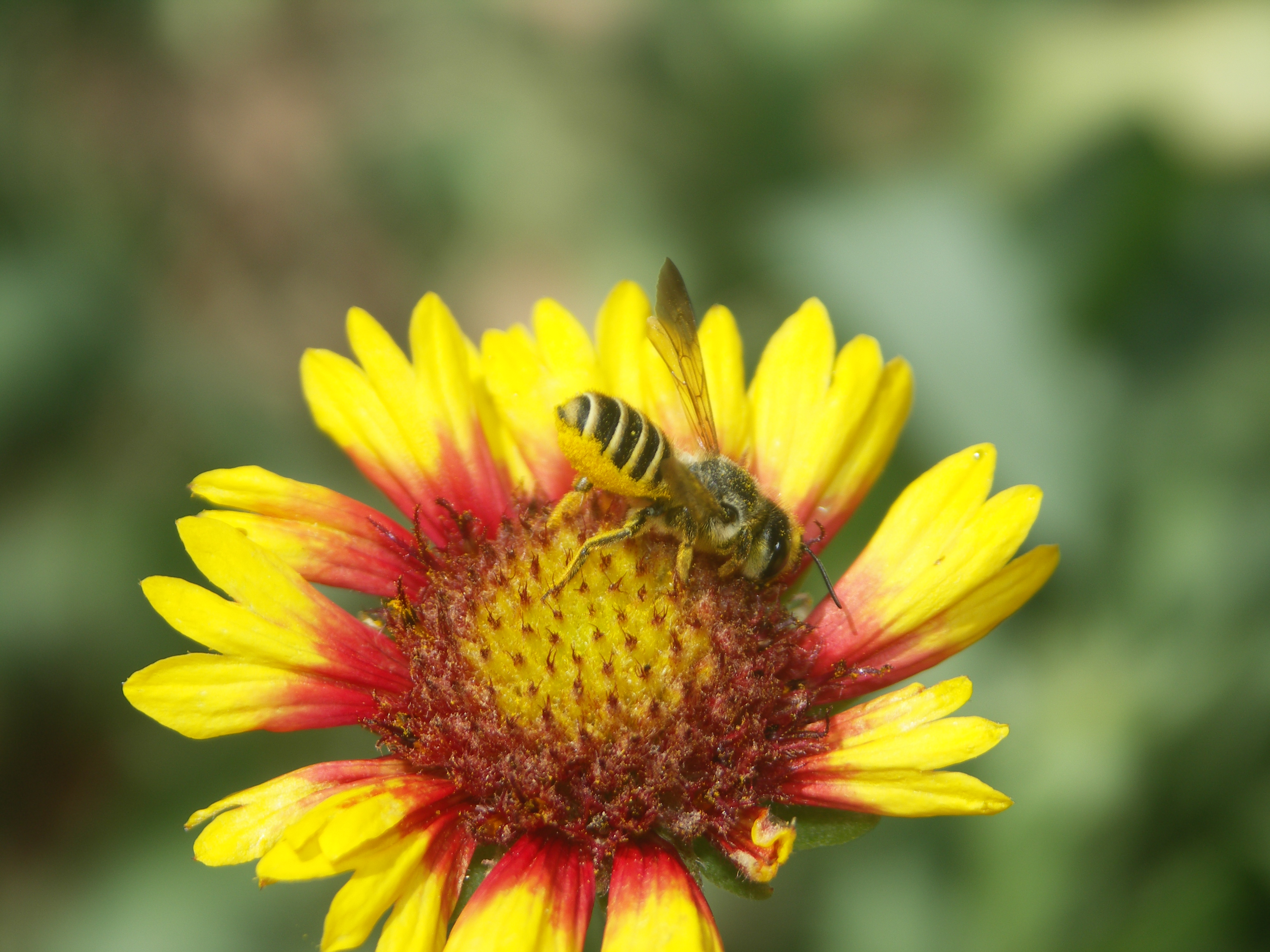 Leafcutter bee on red and yellow colored blanketflower