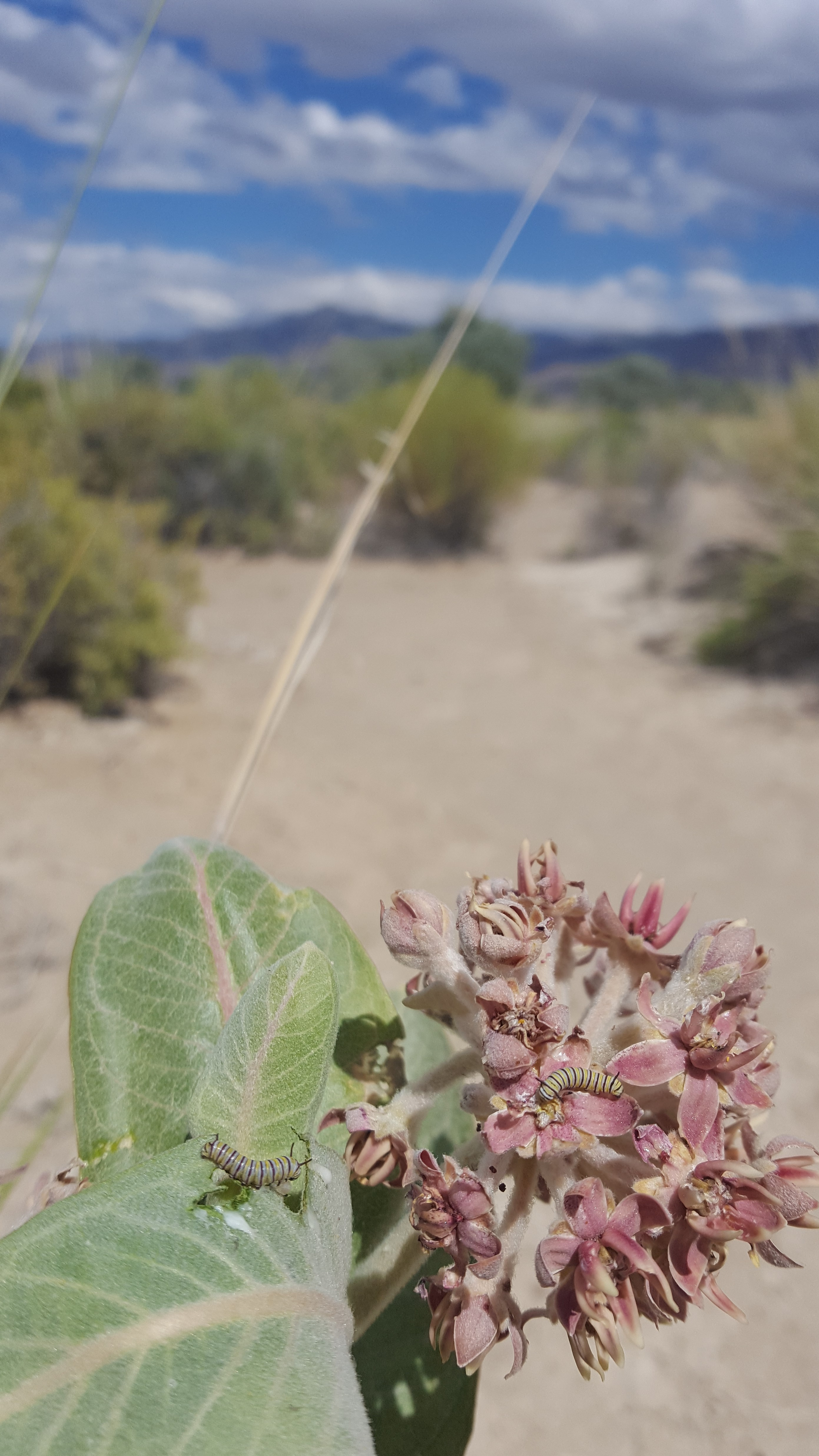 A monarch caterpillar (with yellow, black, and white stripes) crawls on a plant with pale green leaves and pink flowers, with an arid landscape in the background.