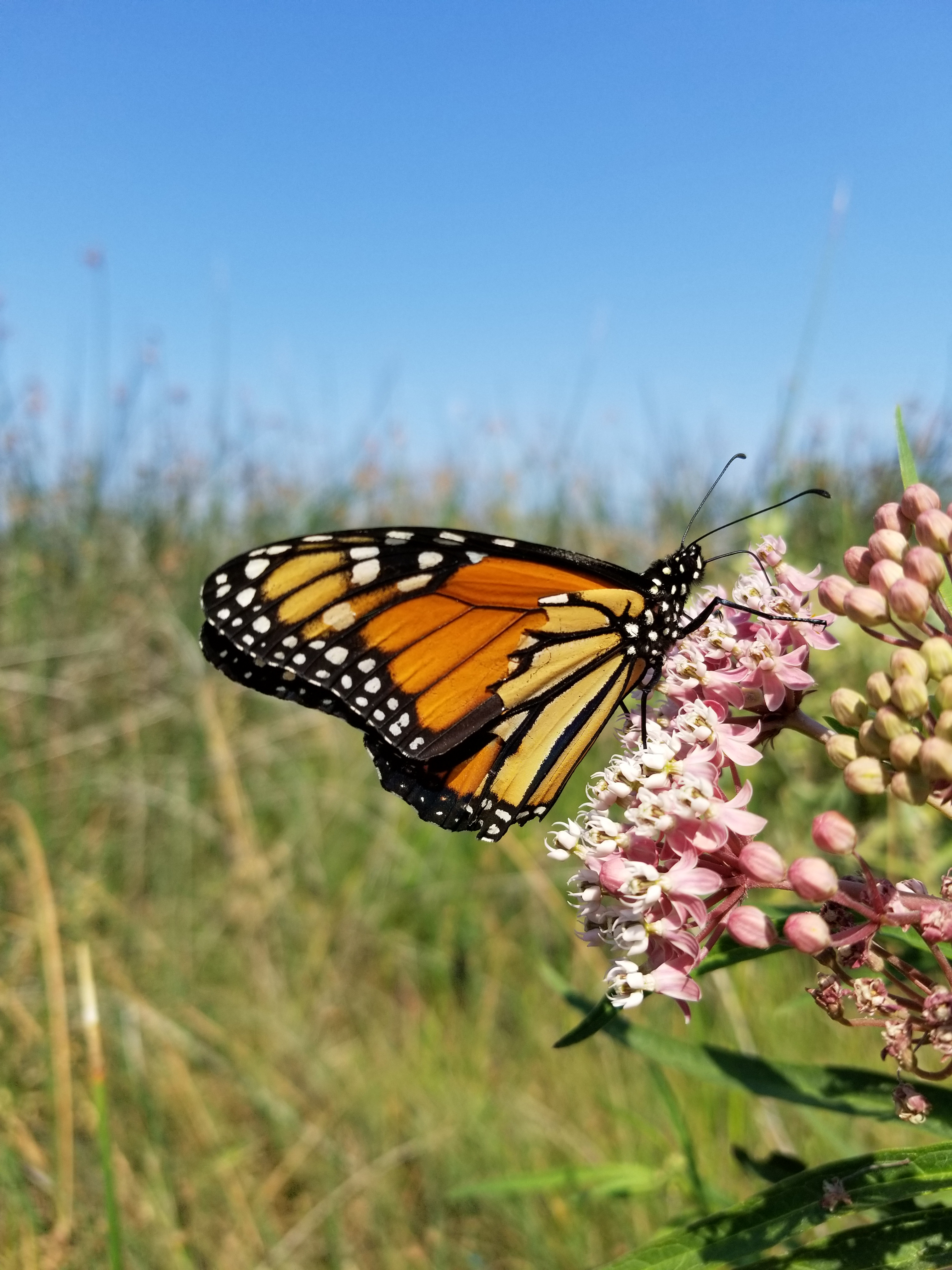 An orange monarch with a partially torn wing clutches a bright pink cluster of milkweed flowers, with an arid landscape and blue sky in the background.