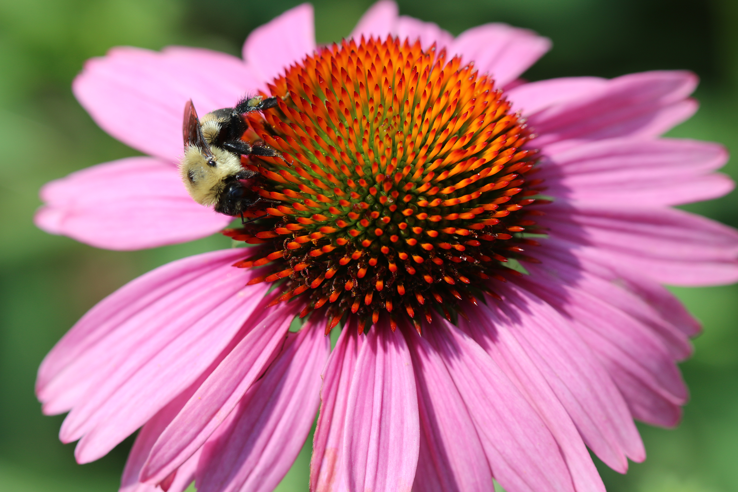 A yellow and black striped bumble bee drinks nectar on the perfectly rounded dome of this purple coneflower.