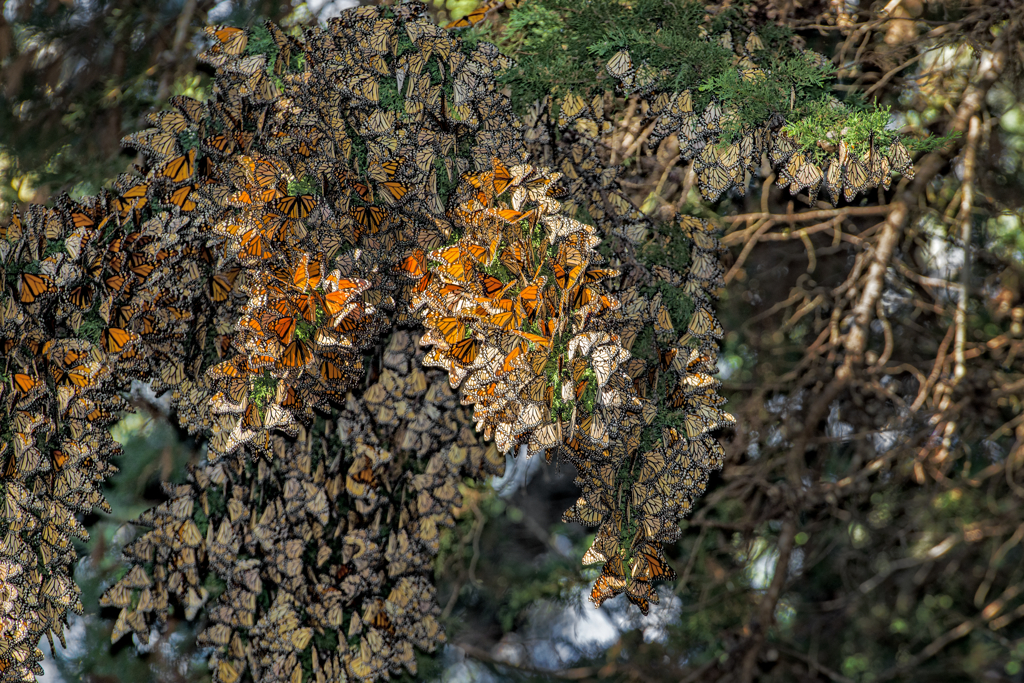 A dense cluster of many hundreds of orange-and-black monarch butterflies blanket the branches of a tree