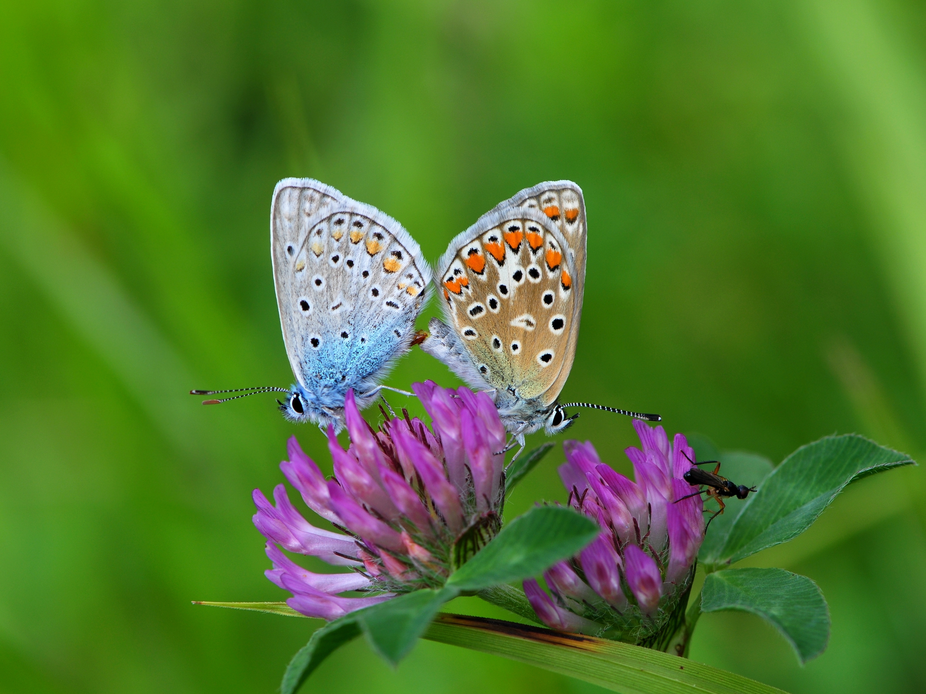Two bright blue butterflies with spots and some small, reddish-orange details on the wings, stand backend-to-backend, mating. They are on a purple clover blossom, and the background is a rich green color.