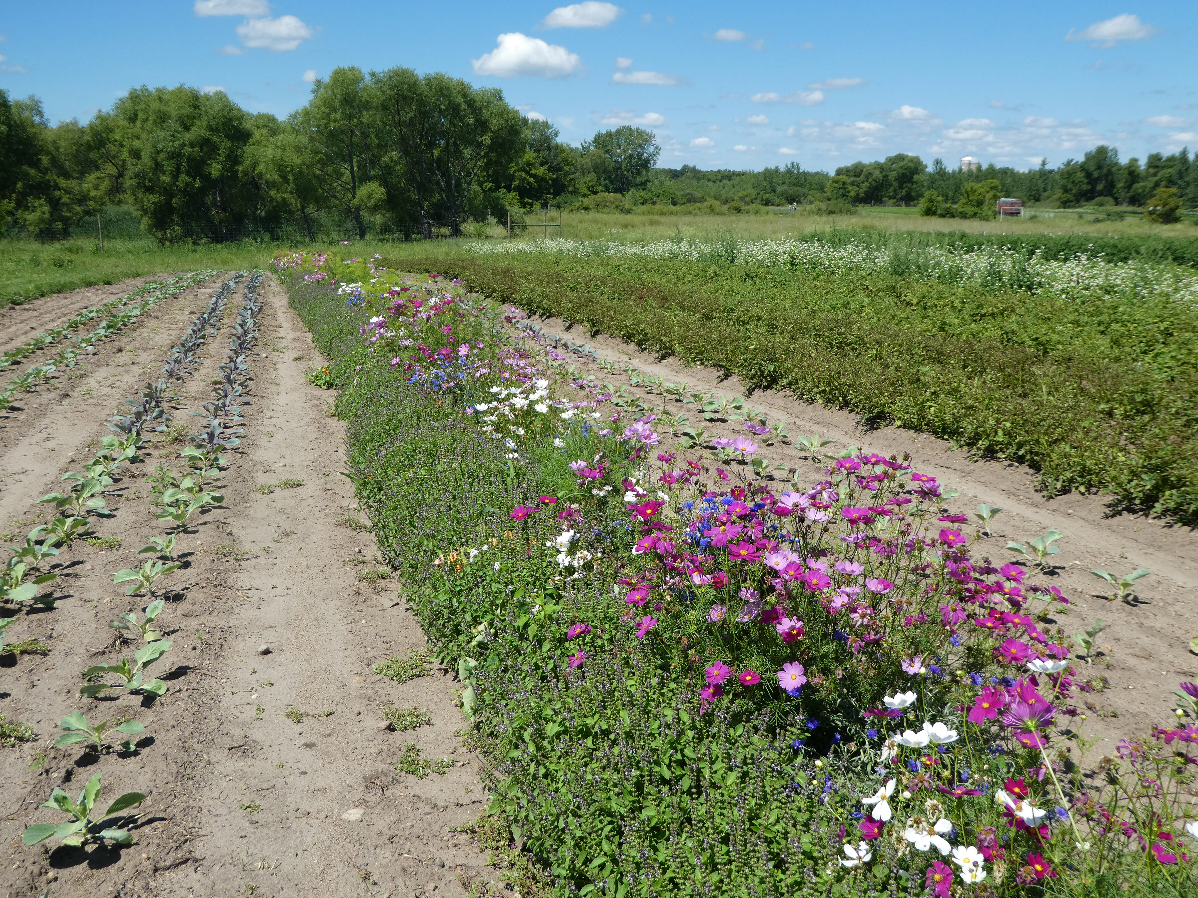 Pink flowers bloom in an insectary strip across a farm field