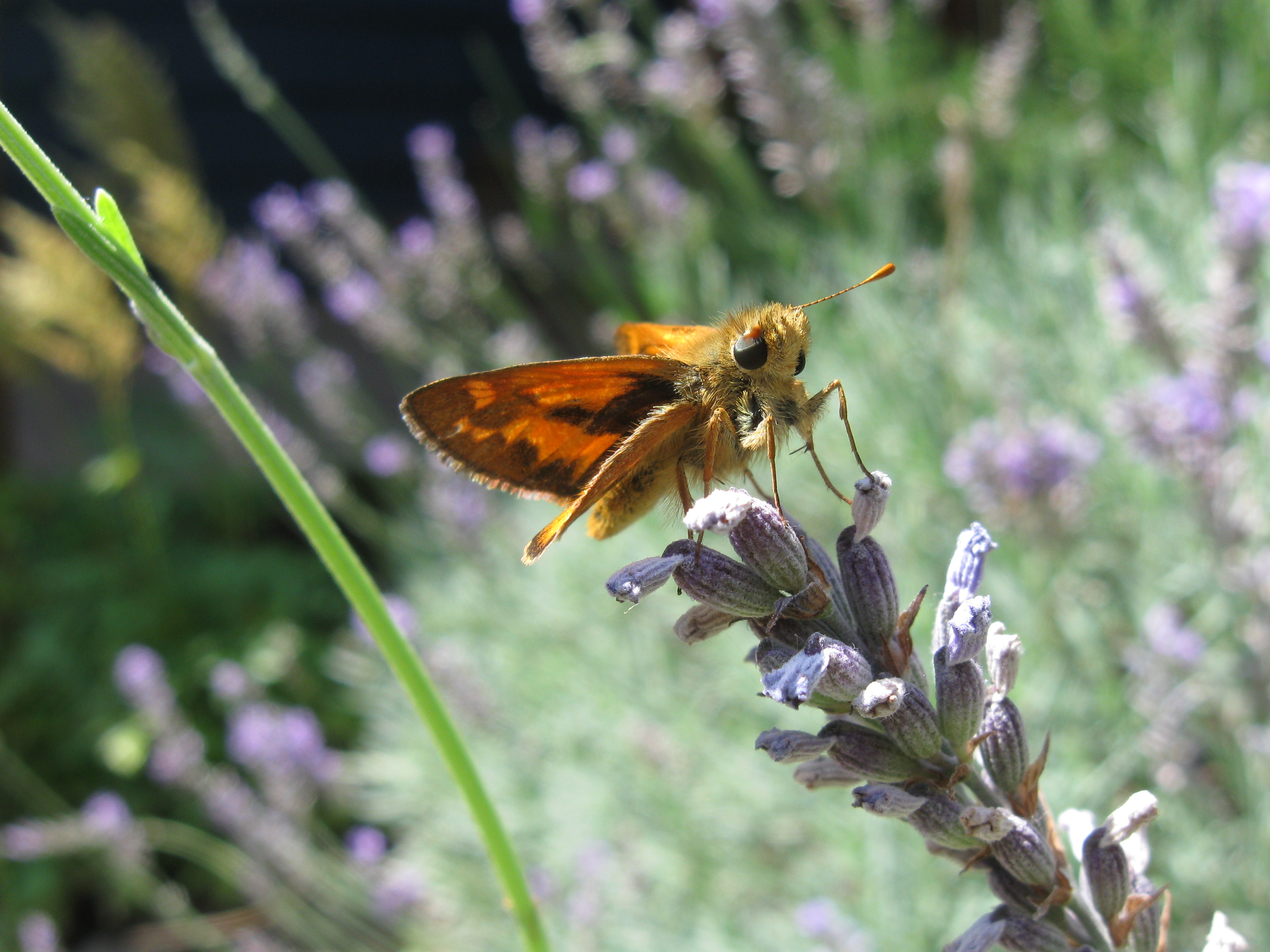 Woodland skipper on English lavender