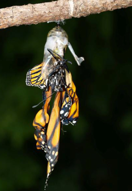 Monarch infected with Ophyrocystis elektroscirrha (OE). This butterfly has emerged from the chrysalis it's clinging to with bent wings.