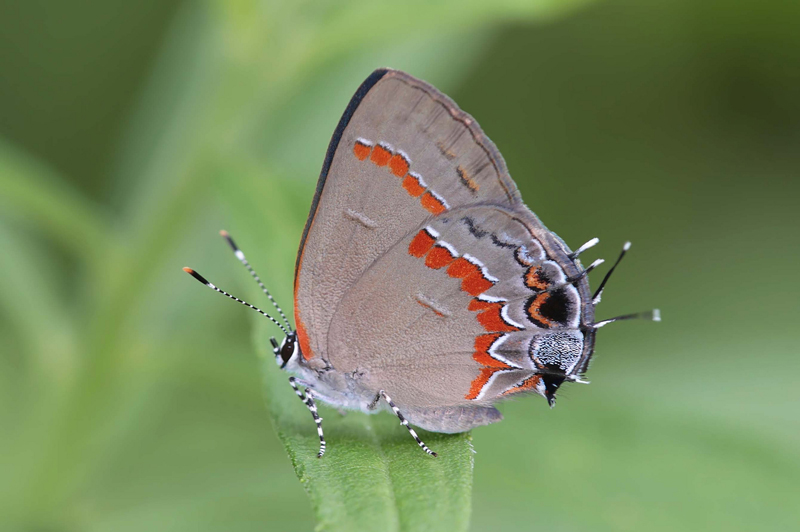 A gray butterfly with red markings and striped antennae and legs perches atop a leaf.