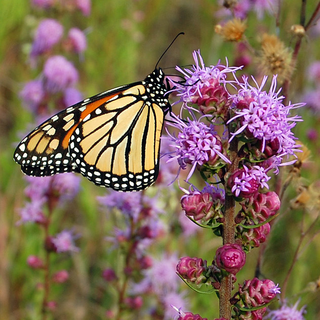 A monarch nectars on multiple, purple, fluffy flowers growing on a stalk.