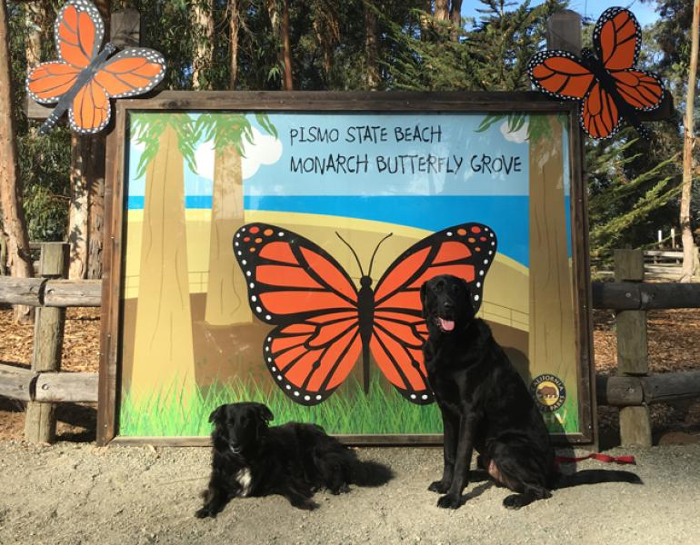 Counting Monarchs In Pismo Beach