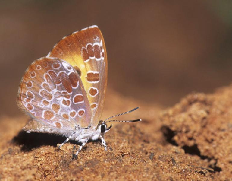 adult harvester butterfly
