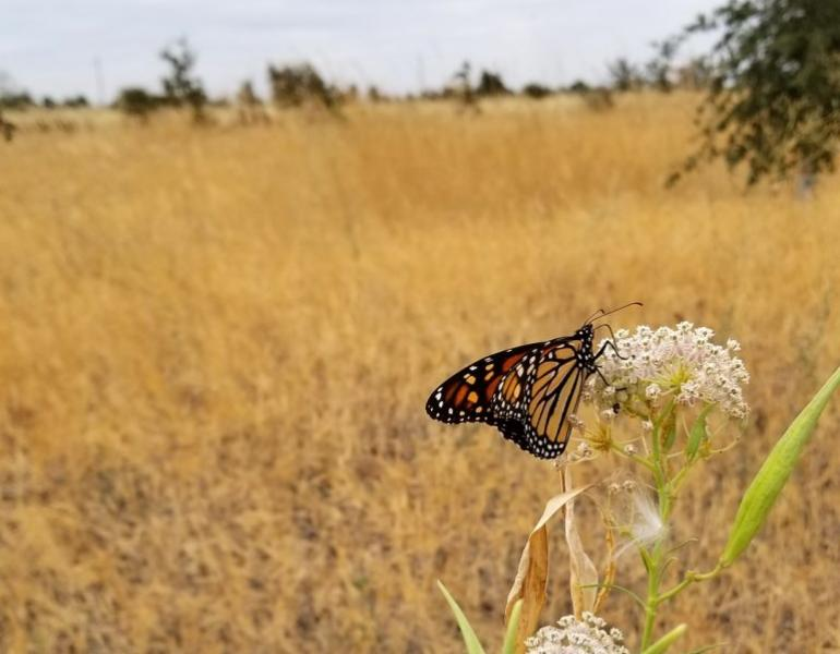A western monarch rests on a white flower amid a dry, grassy field.