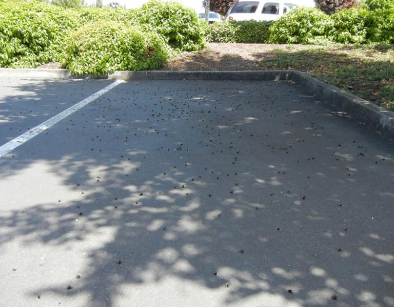 Hundreds of dead bees lay across a single parking space in this photo of the Wilsonville bee kill.